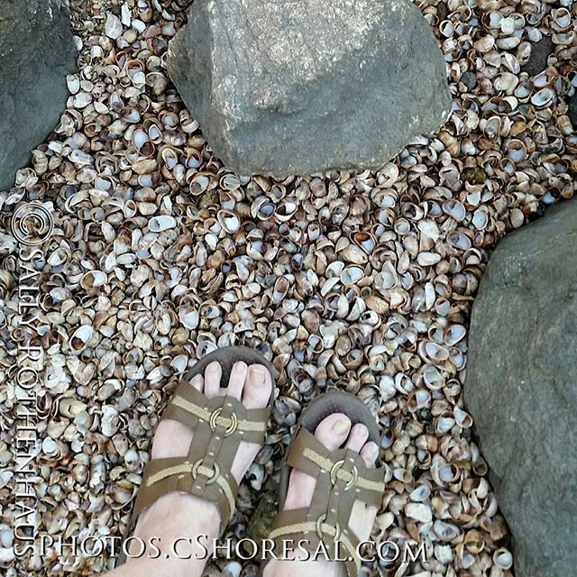 Rocks & Shells & Me#S5 #photography #cellphone #shells #beach #summer #hamonnassett